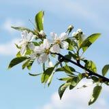 Разветвите с цветками абрикоса Стоковая Фотография