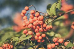 Разветвите с ягодами дерева рябины Стоковые Изображения RF