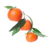 Разветвите с tangerines на белой предпосылке Стоковые Изображения