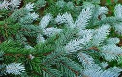 разветвляет вечнозеленый вал зеленого цвета ели Стоковые Фотографии RF