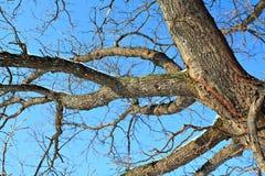 разветвляет дуб Стоковое Изображение RF
