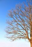разветвляет дуб Стоковые Фотографии RF