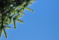 разветвляет зеленый цвет ели свежий Стоковое Изображение RF