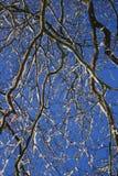разветвляет зима Стоковая Фотография