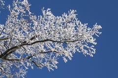 разветвляет зима Стоковые Фото