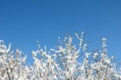 разветвляет зимний Стоковые Изображения RF