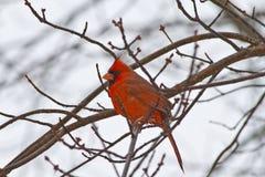 разветвляет кардинальный красный цвет Стоковые Фото