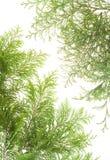 разветвляет открытка вечнозеленых заводов стоковые изображения