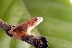 разветвляет положение лягушки Стоковое Изображение RF