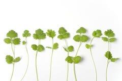 разветвляет рядок coriandrum sativum Стоковые Изображения RF