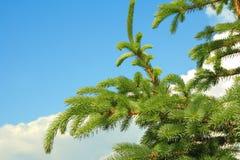разветвляет conifer стоковые фотографии rf