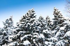 разветвляют валы снежка ели зеленые Стоковые Фото
