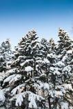 разветвляют валы снежка ели зеленые Стоковое Изображение