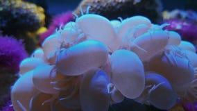 Разветвляя коралл виноградины пузыря, sinuosa Plerogyra акции видеоматериалы