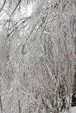 разветвьте в льде Стоковое Фото