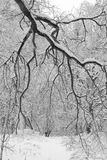 разветвьте в льде Стоковая Фотография