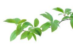 Разветвьте с зелеными листьями на белой предпосылке Стоковое Изображение RF