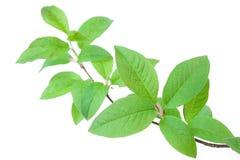 Разветвьте с зелеными листьями на белой предпосылке Стоковые Фотографии RF