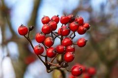 Разветвьте с красными ягодами Стоковые Изображения RF
