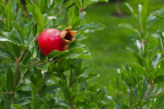 Разветвьте с красным pomegranate и зеленой предпосылкой стоковые изображения rf