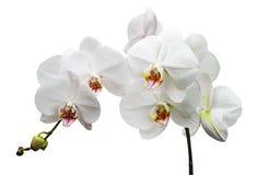 Разветвьте с орхидеями белых цветков Стоковое Изображение