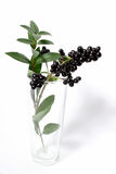 Разветвьте с черными ягодами в вазе стоковые фото