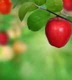 Разветвьте с яблоками Стоковое Изображение
