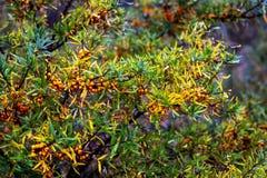 Разветвьте с ягодами крушины моря стоковые фото