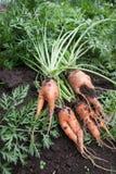 Разветвленная морковь корня стоковые фотографии rf