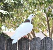 Развел голубя на открытых местностях Стоковая Фотография RF
