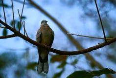Развел голубя на открытых местностях Стоковые Изображения RF