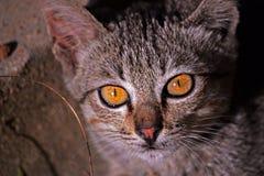 разведите краткость фото великобританских глаз глаза конца кота с волосами вверх Стоковое Изображение RF