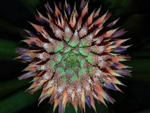 Развитие ананаса Стоковая Фотография