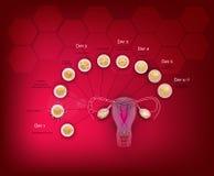 Развитие зародыша Стоковые Фото