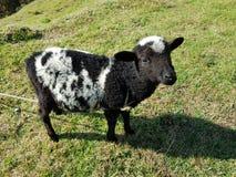разводить белых овец с чернотой на зеленой траве Стоковая Фотография