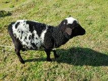 разводить белых овец с чернотой на зеленой траве Стоковая Фотография RF