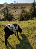 разводить белых овец с черный пасти в полях фермы Стоковое Изображение
