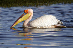 разводить большую белизну plumage пеликана Кении стоковые изображения rf