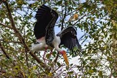 Разводить Желт-представленного счет аиста Mycteria ibis собирая вложенность стоковое изображение