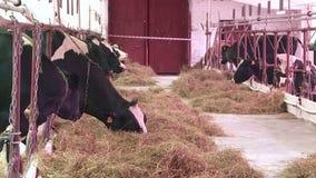 Разводить коров и быков на ферме сток-видео