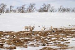 разводить северный оленя табуна Стоковая Фотография