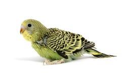 разводить parakeet стоковое изображение rf