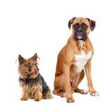 разводит различных собак 2 Стоковые Фото