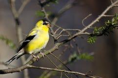 разводить plumage изменения к Стоковые Изображения RF