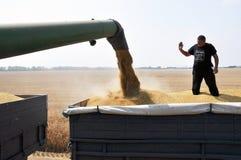 Разгржать зерно от хоппера жатки стоковые изображения rf