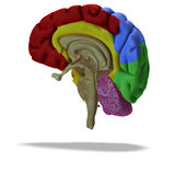 раздел профиля мозга людской иллюстрация вектора