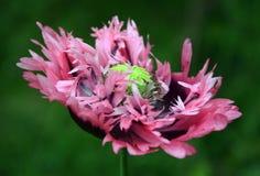 Раздражанный пинком цветок мака Стоковая Фотография