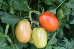 различные зрея томаты этапов Стоковое фото RF