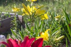 Различные лилии в саде, flowerbed, деревенской сельской местности Стоковая Фотография RF