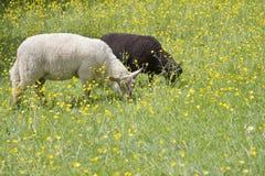 различные пася овцы 2 Стоковое Изображение RF